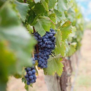Winery IBC Totes
